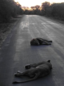 RPA 171 225x300 - Park Narodowy Krugera - safari!