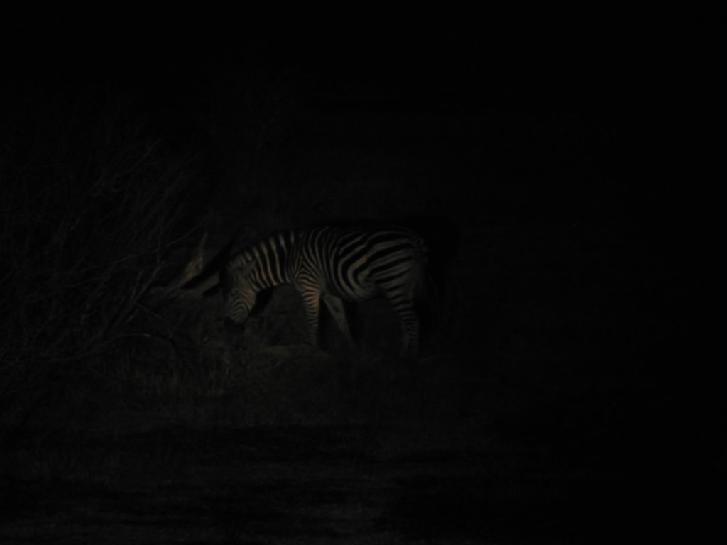 RPA 182 1024x768 - Park Narodowy Krugera - safari!