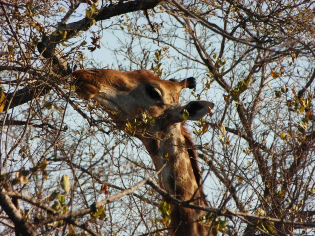 RPA 261 1024x768 - Park Narodowy Krugera - safari!