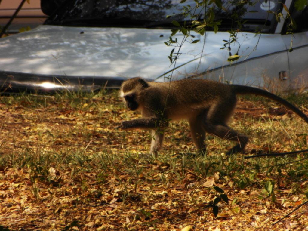 RPA 337 1024x768 - Park Narodowy Krugera - safari!