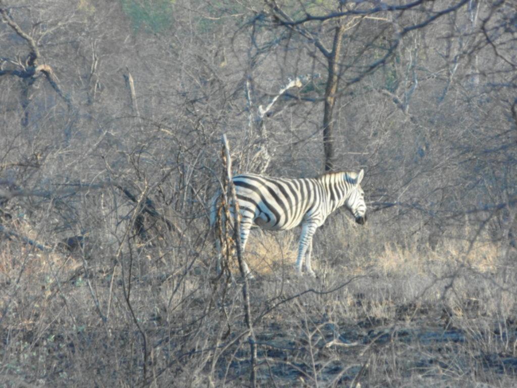 RPA 465 1024x768 - Park Narodowy Krugera - safari!
