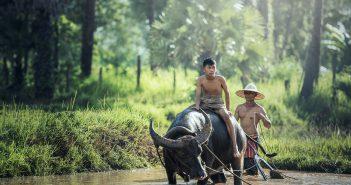 buffalo 1807517 1280 351x185 - Jak się przygotować na pierwszy wyjazd do Azji?