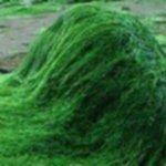 health benefits of spirulina 150x150 - Spirulina - dlaczego jest taka zdrowa?