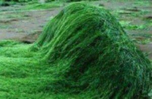 health benefits of spirulina 300x196 - Spirulina - dlaczego jest taka zdrowa?