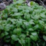Melissa officinalis1 150x150 - Alternatywa dla herbaty