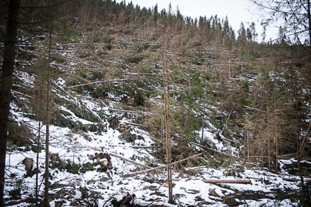 wycinka drzew tatry 05 - Wycinka drzew w Tatrach